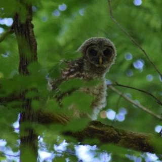 Barred Owl (fledgling)